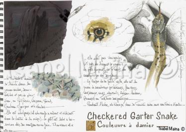 Checkeredgartersnake